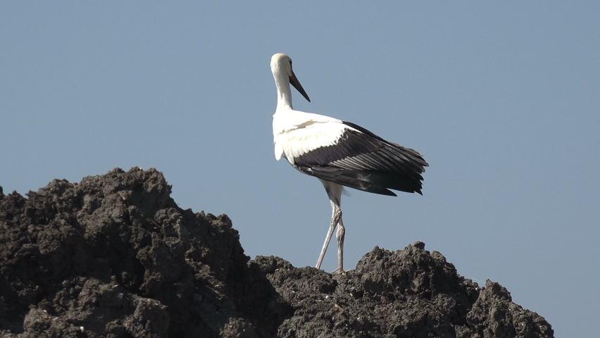 Big bird walks slowly and spreads its wings on the black hill. Young bird, large white crane with black wings, stands on hill on banks of summer river