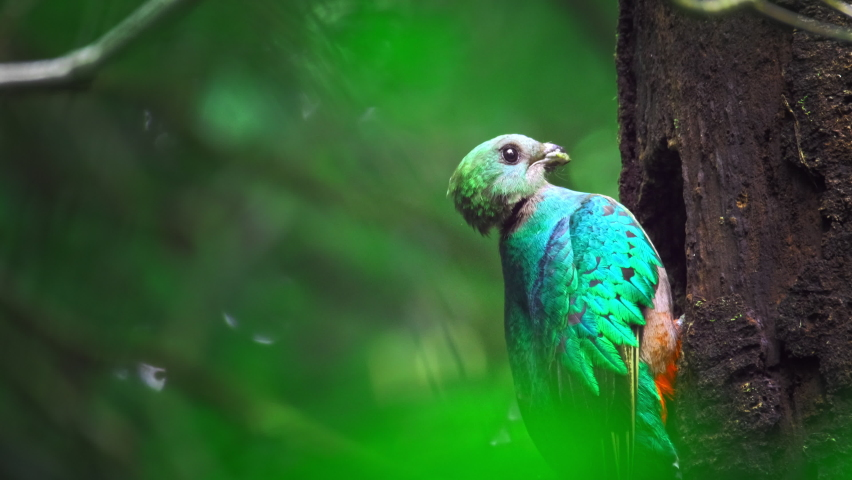 Female of Resplendent quetzal (Pharomachrus mocinno) sits on the branch in the humid forest of Monteverde National Park. Costa Rica   Shutterstock HD Video #1062729019