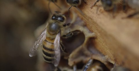 Close up Shot of Bees in a Hive - Extreme Macro