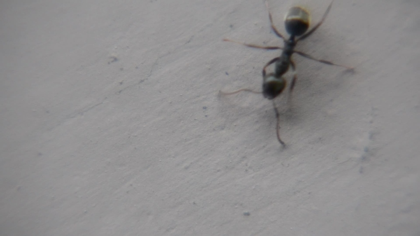Black garden ant activity. Also known as the common black ant. These insects usually live in colonies.  Royalty-Free Stock Footage #1062742567