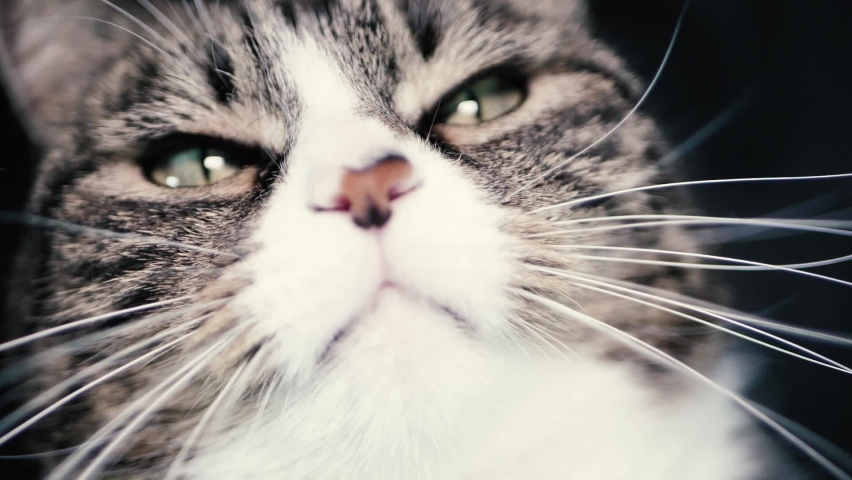 The striped cat watches the movements   Shutterstock HD Video #1062745372