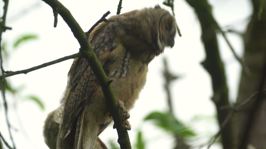 Close up footage of young long eared owl (Asio otus) sitting on a branch deep in tree crown. Tranquil wildlife shot of bird in its natural habitat. Portrait of wild animal with background in green.   Shutterstock HD Video #1062770596