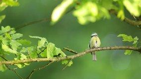 Cyanistes caeruleus. Wild nature of the Czech Republic. Free nature. Bird on a tree. Beautiful video. Spring nature. Young bird.