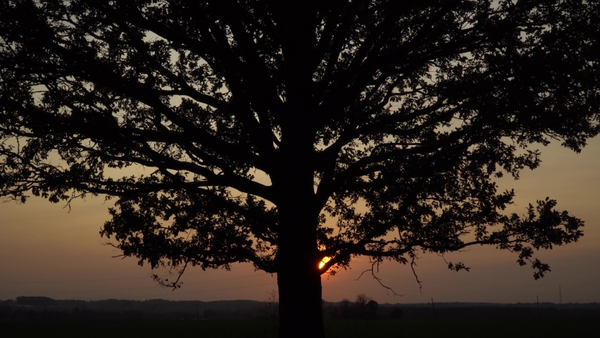 The black silhouette of the big oak tree foliage in sunset time on the evening sky background. The sun disc at the horizon behind the tree trunk shining on heaven in orange to a beautiful golden hue. Royalty-Free Stock Footage #1062826921