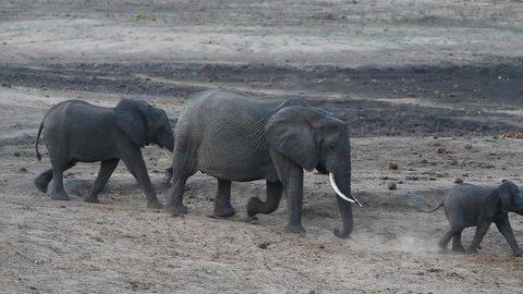 A breeding herd of elephants walking in single file through the frame, Kruger National Park.