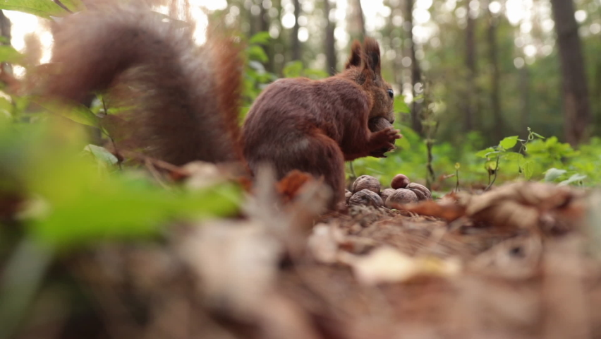 Shooting a squirrel close up in the forest. The squirrel is picking up nuts for the winter. Animal, rodent, fauna, cute, forest, nature, food, close, furry | Shutterstock HD Video #1062931345
