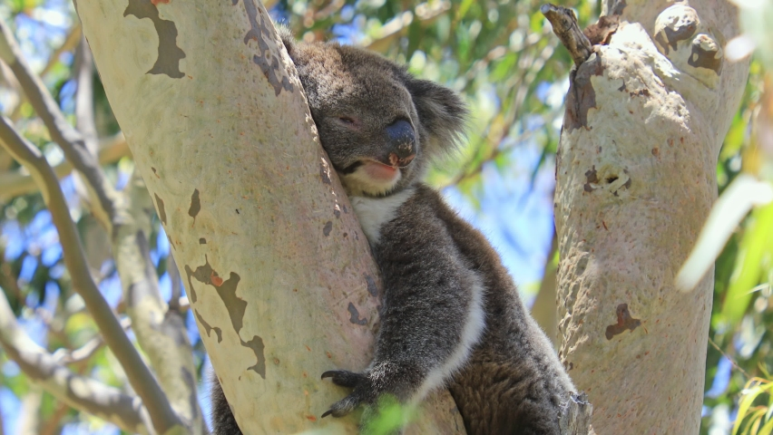 A koala, Phascolarctos cinereus, sleeping on a branch of eucalyptus in Yanchep National Park, Western Australia. Yanchep has been home to a colony of koalas since 1938. Blue sky, summer season. | Shutterstock HD Video #1062939508