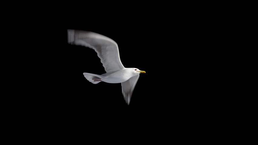 Isolated seagull flying loop, alpha channel, can change the background.symbol of freedom. Big seagull soaring over the Mediterranean sea.birds flies in strong winds.3d animation of flying bird loop   Shutterstock HD Video #1062965212