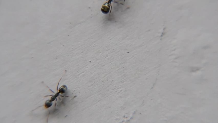 Black garden ant activity. Also known as the common black ant. These insects usually live in colonies.  Royalty-Free Stock Footage #1062967849