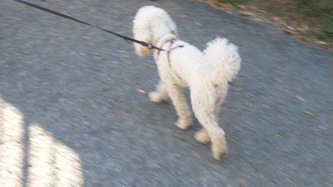 Puppy dog Poodle White in the street