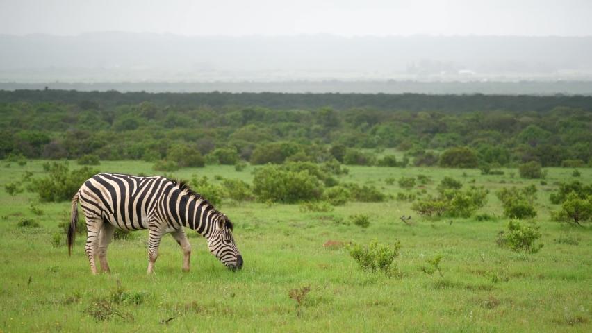 Lone zebra eats vivid green grass after rain on African savanna   Shutterstock HD Video #1063019893