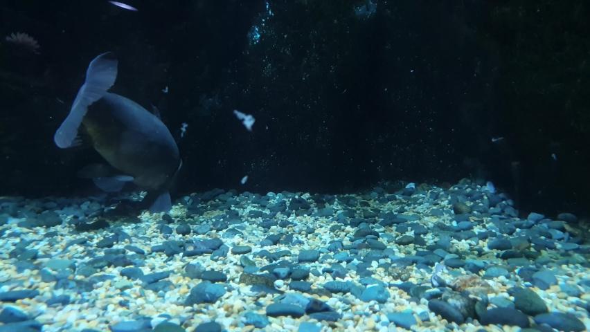 One big fish feeding on gravel | Shutterstock HD Video #1063036777