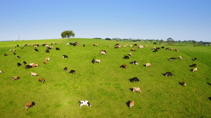 Herd of Dairy Cows on Pasture in New Zealand. Drone footage. | Shutterstock HD Video #1063060060