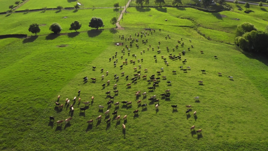 Herd of Dairy Cows on Pasture in New Zealand. Drone footage. | Shutterstock HD Video #1063060063