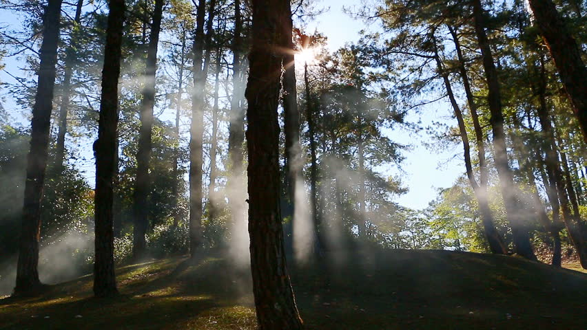 Pine forest with sunlight and fog    Shutterstock HD Video #10630889