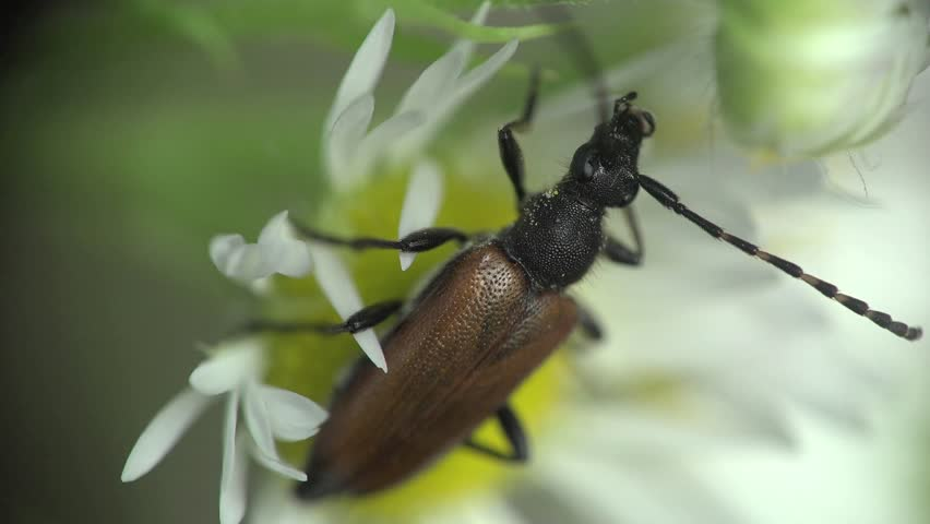 Braun Beetle longhorn bug insect sitting on flower camomile, macro   Shutterstock HD Video #10631069