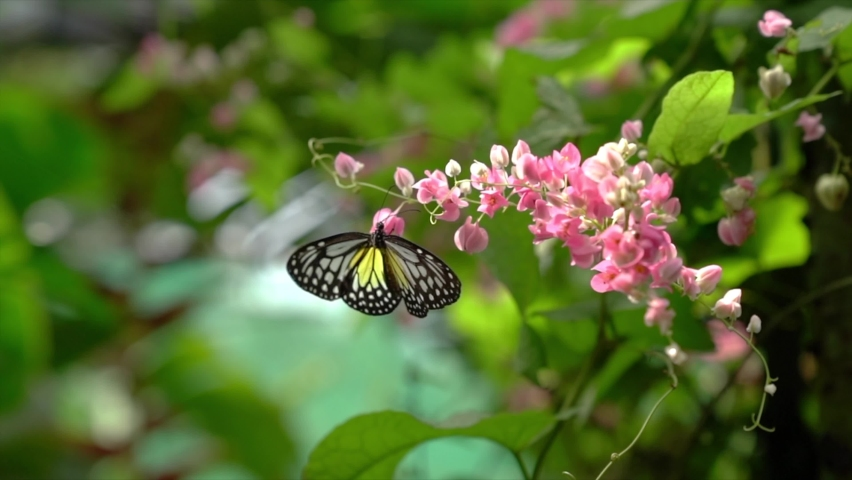 Yellow Glassy Tiger butterfly flying from one flower to another in a beautiful garden with flowers. Slow motion.