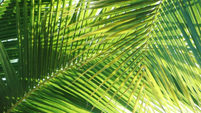 Tropical coconut palm leaf swaying in the wind with sun light, Summer background, slow motion.
