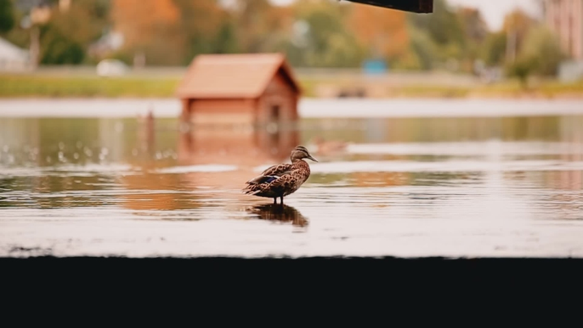 Duck washes standing on the surface of the pond water. Very beautiful shots of nature