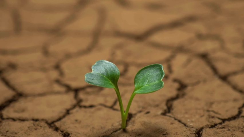 Dying plant in dry soil timelapse, drought concept. climate change and global warming. environment, nature, earth. impact on agriculture. bad harvest, water scarcity, lack of fresh water resources | Shutterstock HD Video #1063309762