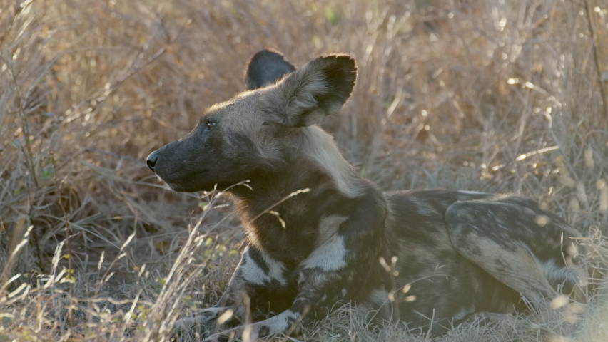 Wide shot of a Wild Dog turning its head and looking into the camera while laying int the long dry grass, Greater Kruger.  | Shutterstock HD Video #1063394260