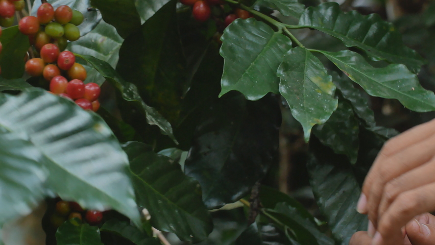Hand farmer picking coffee bean in coffee process agriculture background, Coffee farmer picking ripe cherry beans, Fresh coffee bean in the basket, Close up of red berries beans. Royalty-Free Stock Footage #1063507768