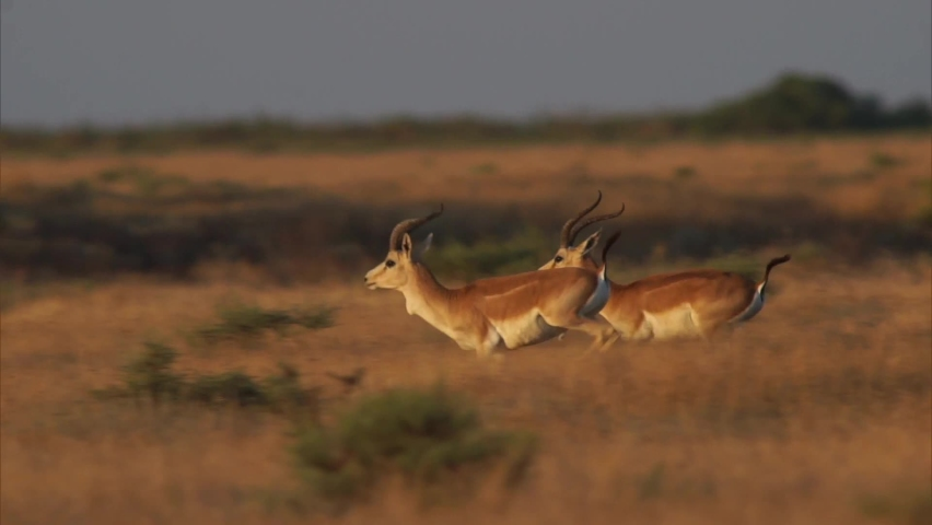 Jairan is a cloven hoofed mammal from the genus of gazelles. The combination of long and slender legs with elegant horns that have beautiful curves, make this antelope even more elegant and refined. | Shutterstock HD Video #1063749409