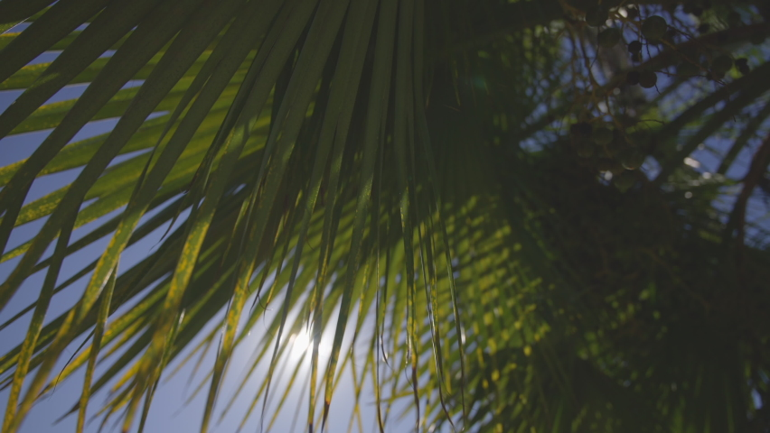The leaves of a California palm tree sway in the wind against the blue sky. Bright sunny day. Slow motion.   Shutterstock HD Video #1063806493