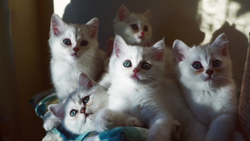 Several kittens of color: a silver chinchilla sits huddled in a bunch, and simultaneously turns its heads to the left and right. Family of British kittens. Synchronous movement. | Shutterstock HD Video #1063889287