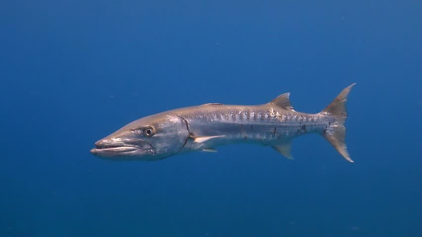 Great barracuda in blue water with surgeonfish