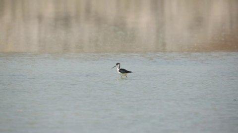 Black-winged stilt on the lake
