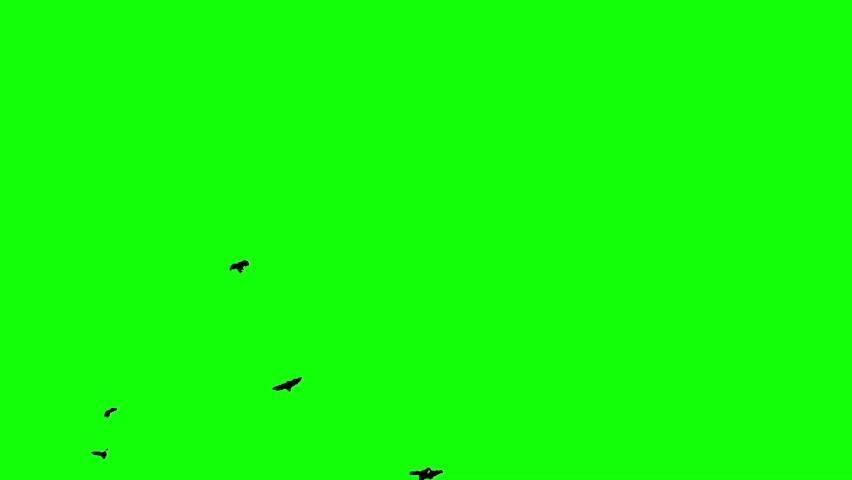 Flock of black birds flying on the green screen