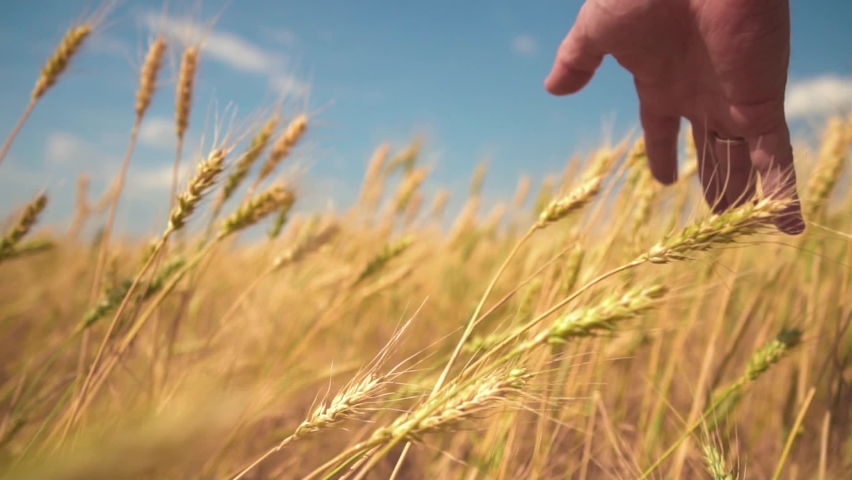 A hand touches the ears of wheat. The Man Gently and Gently Runs His Hand over the Tops of Wheat. Wheat Ears Close-up. The concept of the Unity of Man with Nature. | Shutterstock HD Video #1063974358