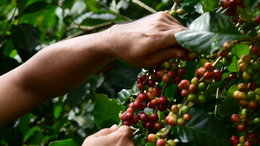 Hand farmer picking coffee bean in coffee process agriculture background, Coffee farmer picking ripe cherry beans, Fresh coffee bean in the basket, Close up of red berries  Royalty-Free Stock Footage #1063994554