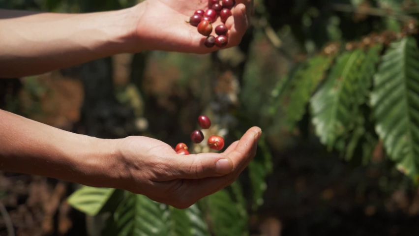 Farmer hands holding red coffee beans. Farmer harvesting coffee beans, coffee tree plantation, Vietnam, Asia. Authentic real video of farming in Asia. Coffee crop. Royalty-Free Stock Footage #1063995409
