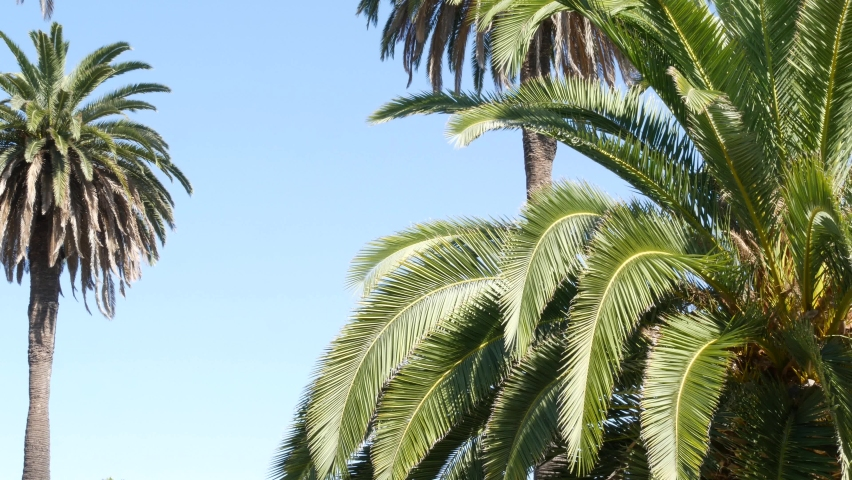 Palms in Los Angeles, California, USA. Summertime aesthetic of Santa Monica and Venice Beach on Pacific ocean. Clear blue sky and iconic palm trees. Atmosphere of Beverly Hills in Hollywood. LA vibes.