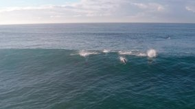 A pod of dolphins surf a wave at Freshwater Beach Sydney, Australia