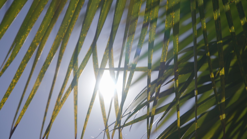 The leaves of a California palm tree sway in the wind against the blue sky. Bright sunny day. Slow motion   Shutterstock HD Video #1064021023