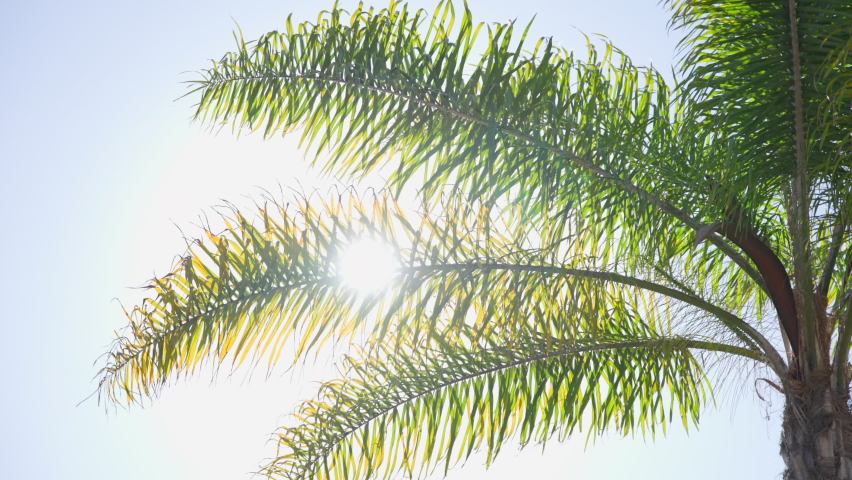 The leaves of a California palm tree sway in the wind against the blue sky. Bright sunny day. Slow motion   Shutterstock HD Video #1064021029