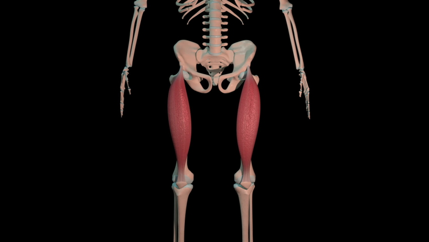 This 3d animation shows the rectus femoris muscles in full rotation loop on human skeleton Royalty-Free Stock Footage #1064036707
