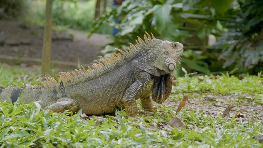 Green Iguana (Iguana Iguana) Large Herbivorous Lizard Staring on the Grass in the Garden in Medellin, Antioquia, Colombia