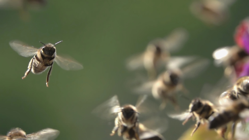 Bees Flying arround flowers. Sunlight. Sunset. Closeup view. slow-motion. Royalty-Free Stock Footage #1064044249