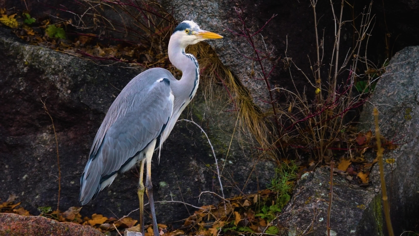 Close up of heron beside a pond walking. Royalty-Free Stock Footage #1064078467