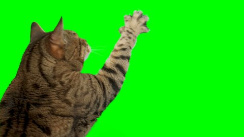 Green Screen Cat Stock Video Footage 4k And Hd Video Clips Shutterstock