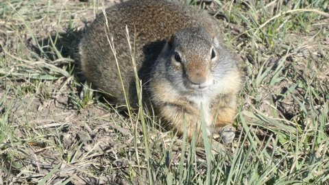 Cute ground squirrel eating grass then looking at camera