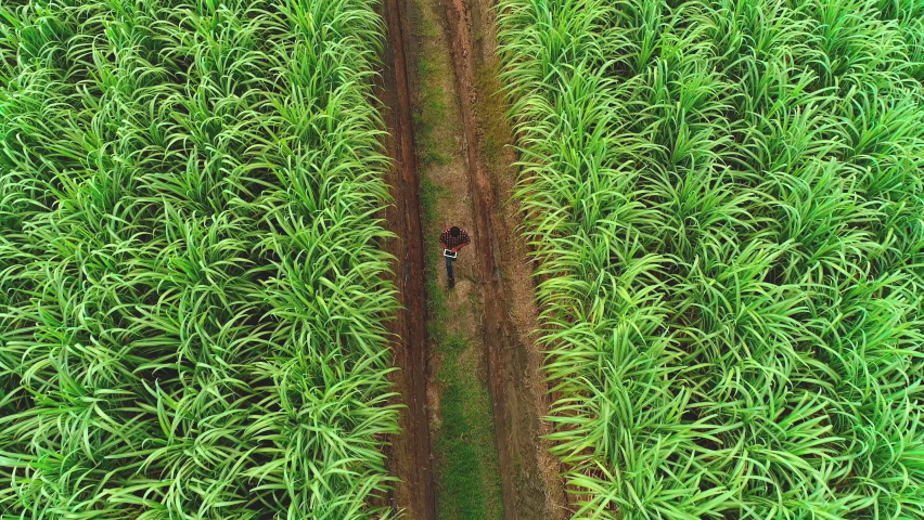 Agriculture smart farming technology - industry 4.0.Concept of Sugarcane Harvesting and Planting with Technology and smart farming. man farmer using digital tablet at Sugar Cane Plantation.   Shutterstock HD Video #1064261137