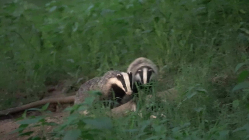 European badgers are playing near the burrow. Small badger during springtime.  Fun with badgers. European wildlife nature.