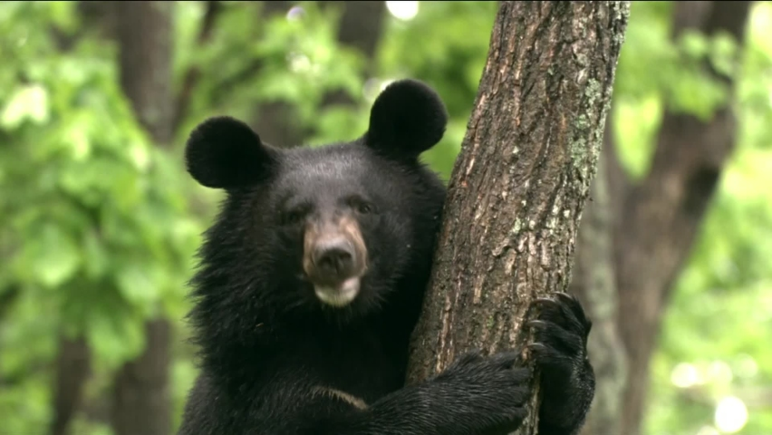 """Himalayan bear. There is always a white, sometimes yellowish, V-shaped spot on the chest; it resembles a crescent moon, and it is because of this that the Himalayan bear is called """"moon bear"""". Royalty-Free Stock Footage #1064343931"""