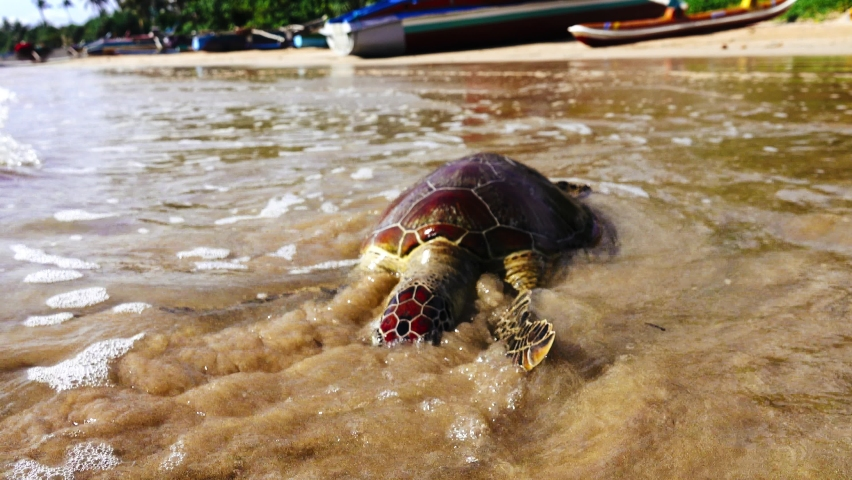 This sea turtle - Loggerhead turtle (Caretta caretta) is dying now as result of pollution of sea waters and ocean temperature increases (global warming). Essential animal conservation. Indian ocean Royalty-Free Stock Footage #1064431462