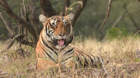 Close up shot of Wild female royal bengal tiger resting in natural green background at ranthambore national park or tiger reserve rajasthan india - panthera tigris tigris